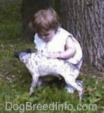 The left side of a white with gray American Hairless Terrier that is being petted by a young child next to a tree