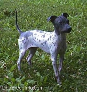 American Hairless Terriers