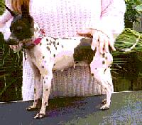 The left side of a wet white with gray American Hairless Terrier that is standing across a table outside with a person behind it
