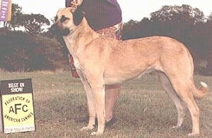The left side of a tan Anatolian Shepherd that is standing on a lawn with a person standing behind it.