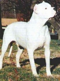 A Dogo Argentino is standing outside and looking to the right. There are trees behind it