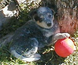 The back right side of an Australian Cattle Dog puppy that is laying under the shade of a tree with a red toy ball