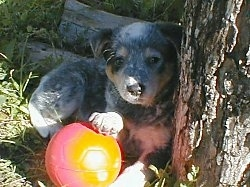 The right side of an Australian Cattle Dog puppy that is laying against a tree with its paw on a red toy ball