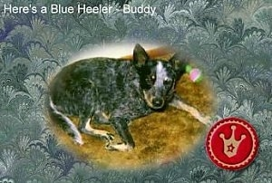 The right side of a black with white and tan Australian Cattle Dog is laying on a carpet. The words 'Heres a Blue Heeler - Buddy' overlayed and also a badge is overlayed