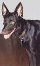 The front left side of a black Australian Kelpie that is standing across a hardwood floor with its mouth open and tongue out.