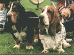 Two Basset Hounds standing outside in a lawn
