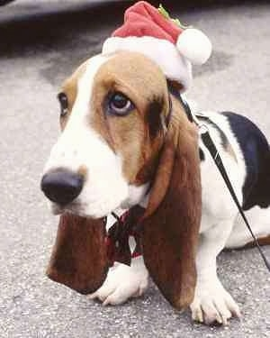 Basset Hound Puppies on Basset Hound Pictures And Photos  1
