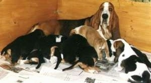 Basset Hound dam laying with a litter of seven Basset Hound puppies