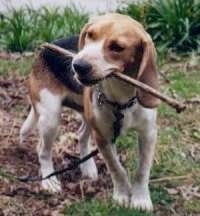 Dr. Evil the Beagle outside with a stick in its mouth