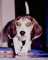 Dr. Evil the Beagle as a puppy walking along a tiled floor