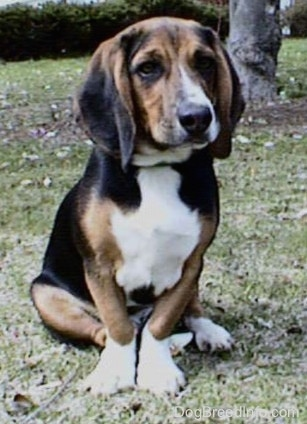 A Beagle is sitting outside in front of a tree and looking towards the camera holder