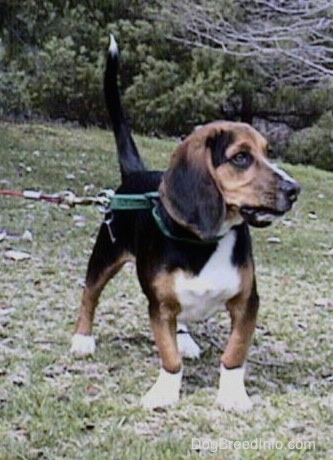The front right side of a tri-color Beagle that is standing on a hill and it is looking off to the left. His front legs are bowed inward and his tail is up in the air.