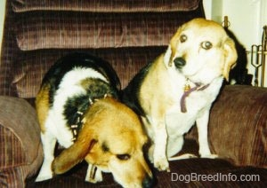 Two beagles sitting in a brown recliner chair