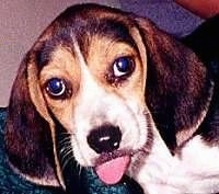 Close Up - Dr. Evil as a puppy with his tongue out