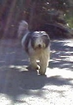 Jessy the Bearded Collie running towards the camera holder