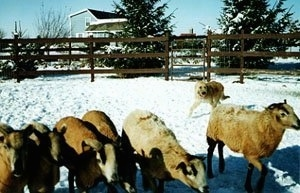 Sprout the Belgian Laekenois standing on snow herding a line of sheep