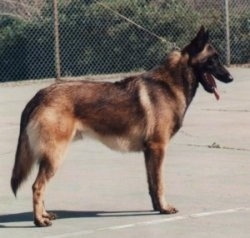 Left Profile - Marcus the Belgian Malinois standing on a blacktop in front of a chain link fence