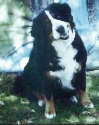 Isadora the Bernese Mountain Dog sitting outside with his head tilted to the right