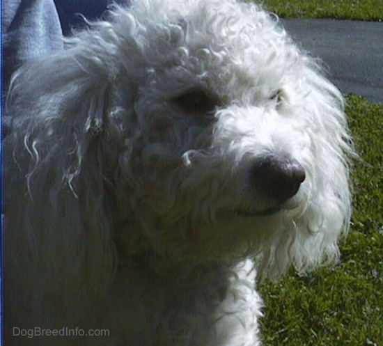 Close Up head shot - Jake the Bichon Frise standing outside looking to the left