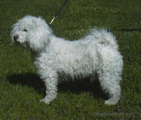 Left Profile - Jake the Bichon Frise standing outside in grass