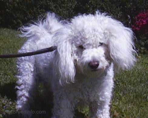 Close Up - Jake the Bichon Frise standing on grass