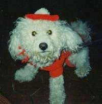 Jake the Bichon Frises wearing a red costume with a headband and a sweater