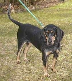 Black and Tan Coonhound wearing a green leash on grass