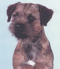 Close Up - Tyler the Border Terrier Glamour shot with a baby blue background