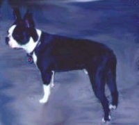 Boston Terrier standing up view from the side