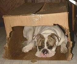 Spike the Bulldog is sleeping inside of a cardboard box with a cut out opening.