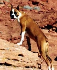 A Boxer climbing on a rock with its mouth open and tongue out