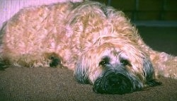 Grendel the Briard laying down on a carpeted floor
