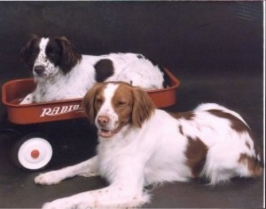 One Brittany in a Radio Flyer wagon and another Brittany dog laying next to it