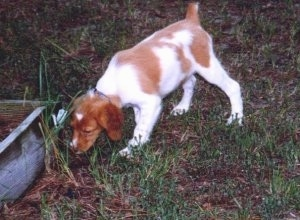 A Brittany puppy sniffing the side of a flower bed