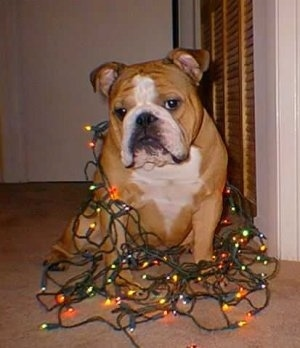 Ramius the English Bulldog wrapped in lit Christmas lights