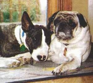 Bull Terrier laying next to a Pug in front of a window