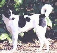 A black and white Canaan Dog is standing in dirt with a wall of greenery behind it and looking back towards its tail