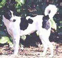Adopt Canaan Dog Uk