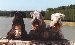 Three Cesky Terriers are sitting on a log with a large body of water behind them