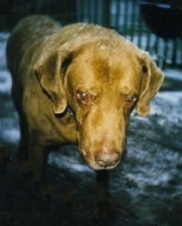 Close Up - Georgio Diver the Chesapeake Bay Retriever is walking across snowy grass