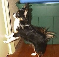 Peanut the long haired Chihuahua is standing up against a wall and on a hardwood floor