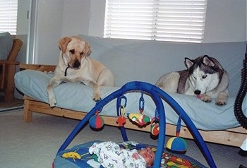 Kobe and Brady the Labrador and Husky up on a couch looking down at Jake the infant on the floor below them under a baby mobile