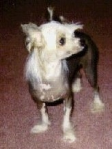 A Chinese Crested hairless is standing on a red rug and looking to the right