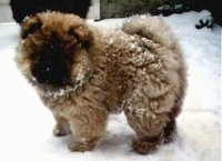 Khan The Chow As A Puppy Is Standing In And Covered Snow He