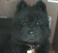 Close Up head shot - Nux the black Chow Chow puppy is sitting in a room in front of a couch