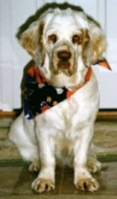 Maui the Clumber Spaniel is wearing a bandana and sitting on a floor in front of a cabinent