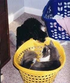 A black and tan Cockapoo is jumped up on the side of and looking into a yellow laundry basket that has a cat in it