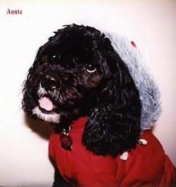 Close Up - Annie the black Cockapoo is wearing a red coat and a santa hat. The words - Annie - are small in the top corner of the image