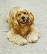 The front right side of a tan American Cocker Spaniel that is laying across a sidewalk with its mouth open. It looks like it is smiling.