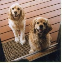 Two tan American Cocker Spaniels sitting on a wooden porch in front of a glass door
